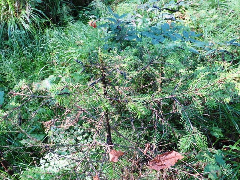 Гусеницы сибирского шелкопряда на пихтовом подросте